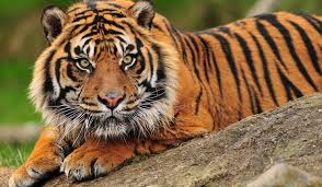 Sumatran Tiger Dies at Zoo