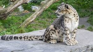 Snow Leopard Death Enquiry