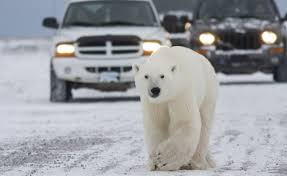 Endangered Polar Bears Come to Town
